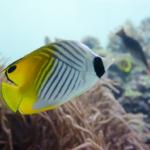 海水魚「チョウチョウウオ」の飼育!方法や餌について!