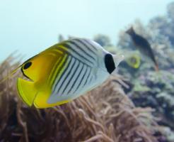 チョウチョウウオ 海水魚 飼育 餌