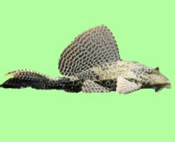 プレコ 熱帯魚 大きさ