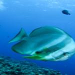 海水魚ツバメウオ!種類はどんなのがいる!?