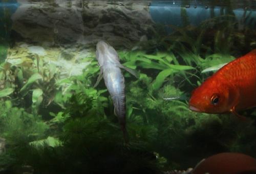 ヨシノボリ 混泳 金魚 エビ