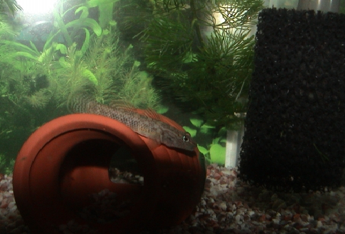 ヨシノボリ 混泳 熱帯魚