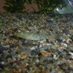 ヨシノボリの稚魚!飼育方法や餌について!