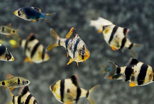 スマトラ 熱帯魚 飼育
