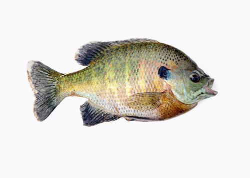 ブルーギル 外来種 魚 生態