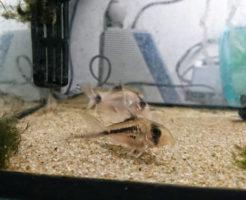コリドラス パンダ 繁殖
