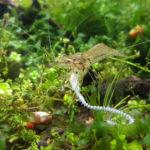 ヤマトヌマエビは熱帯魚を食べる!混泳に向いてない?
