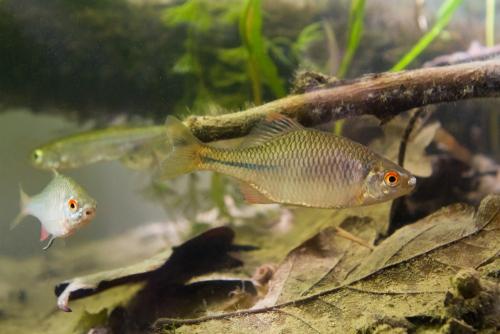 タナゴ 混泳 熱帯魚