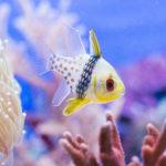 マンジュウイシモチの混泳について!おすすめの熱帯魚は?