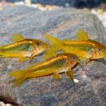 コリドラスって他の種類の魚の稚魚を食べる!?混泳は大丈夫?