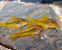 コリドラス 稚魚 食べる