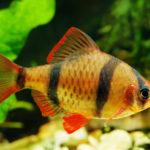 熱帯魚の飼育!「スマトラ」の寿命ってどれくらい!?