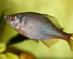 タナゴ 混泳 金魚 エサ