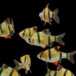 熱帯魚「スマトラ」!繁殖方法や条件は!?