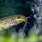ドジョウの混泳について!混泳できる熱帯魚って何!?