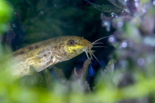 ドジョウ 混泳 熱帯魚