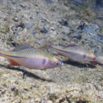 タナゴの水槽での飼育や水流について!