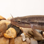 淡水魚ドジョウの飼育!方法やコツは?