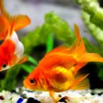 スジエビの混泳飼育について!金魚やドジョウは混泳できる!?