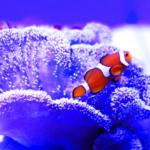 カクレクマノミの海水の作り方や比重について!