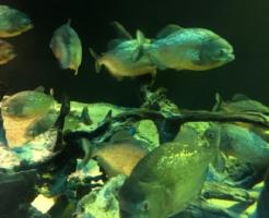 ピラニア 餌 おすすめ ネズミ 金魚