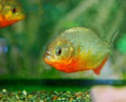 ピラニア 餌 回数 量 頻度