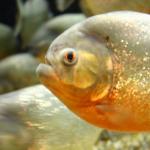 ピラニアの飼育に最適な水槽の大きさとおすすめレイアウトについて!
