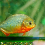 ピラニアの稚魚の飼育方法やオススメの餌について!