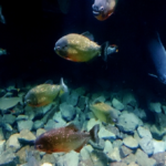 ピラニアって日本の川で繁殖することはあるの!?