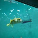 ハリセンボンの幼魚の飼育方法について!