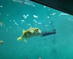 ハリセンボン 幼魚 飼育