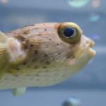 海水魚ハリセンボンの生態についてのまとめ!