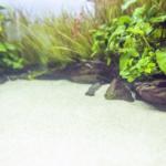 スジエビの水草がボロボロ!食害と対策方法について!