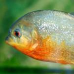ピラニアの混泳について!金魚やエビは混泳できる!?