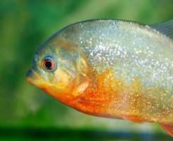 ピラニア 金魚 混泳