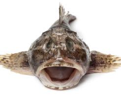 カジカ 鰍 漢字 由来 意味