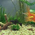 プレコと金魚の混泳や餌について!舐める時がある!?