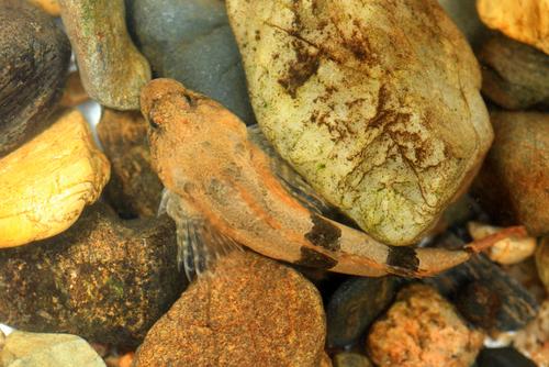 カジカ 魚 飼育 餌