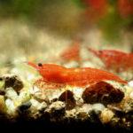 ミナミヌマエビの繁殖時の温度管理の方法や餌について!