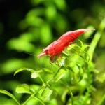 ミナミヌマエビの飼育!酸欠の症状や対策方法について!