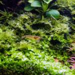 ミナミヌマエビの飼育におすすめな水草の種類は!?