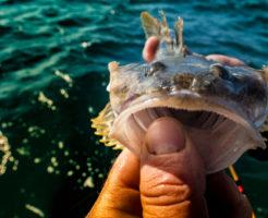 カジカ 川 釣り 餌