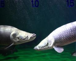ピラルク 稚魚 餌