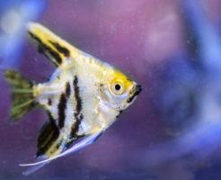 エンゼルフィッシュ 稚魚 食べる