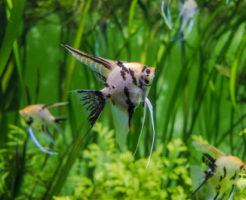 エンゼルフィッシュ 稚魚 成長