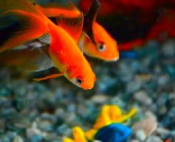 カマツカ 金魚 混泳