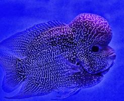 フラワーホーン 熱帯魚 種類