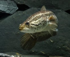 スネークヘッド熱帯魚 小型