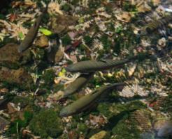 ニジマス 生態系
