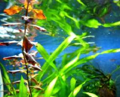 カネヒラ 飼育 水草